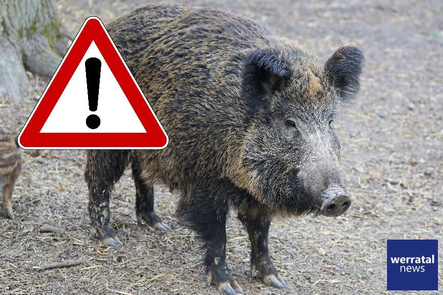 Wildschweinrotte kreuzt Fahrbahn